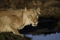 Lionne buvant au point d'eau - Lioness Drinking at Water Hole