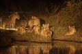Lionnes la nuit / Lionesses at night