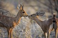 Couple de Steenbok... Petit moment de tendresse en brousse....