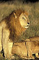 Lion Grand male adulte