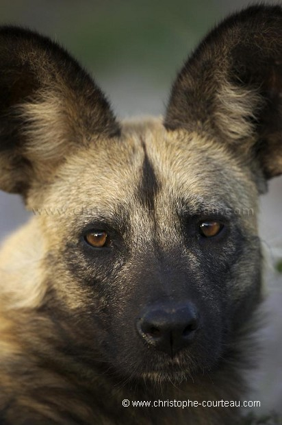 Lycaons - African Wild Dogs